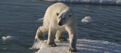 Polar Bear in Greenland Eric Philips